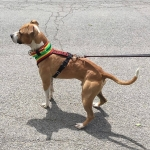 Cute Dog Rasta Harness.jpg