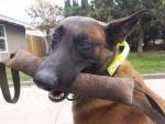 Cute Dog Tug.jpg